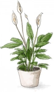 Ikea Peace Lily Illustration