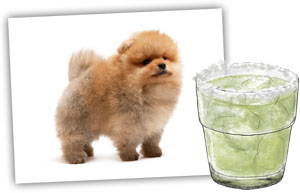 Mean margarita and a meaner pomeranian