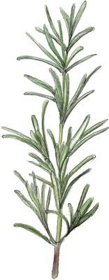 Illustration of rosemary for perfect focaccia recipe