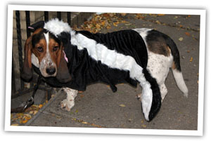 Photo of a Halloween Dog dressed as a skunk