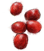 Cranberries illustration for cranberry and camembert recipe