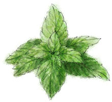 Mint illustration for limoncello fizz recipe with garlic bread