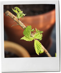 Raspberry plant photo for Spring buttter lettuce and asapragus salad recipe