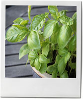 Basil leaf photo to illustrate spring pesto recipe