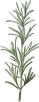 Rosemary illustration for apple cake recipes
