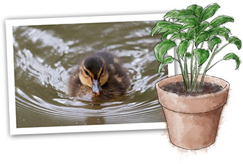 basil and ducklings illustration for spring recipe