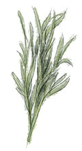 Tarragon illustration for steak and bernaise sauce recipe for last supper before the rapture
