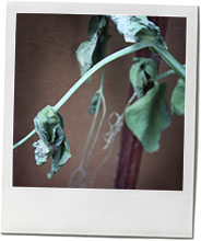 photo of a dead pea plant to illustrate a summer pea risotto recipe