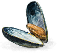 Mussel illustration for clam bake recipe