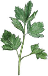 Parsley illustration for summer salads and picnic recipes