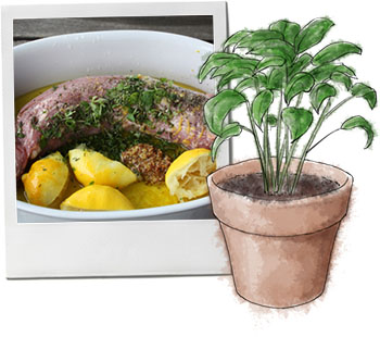 Pork loin and a basil illustration for pork loin recipe