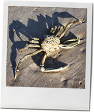Crab photo to illustrate summer beach recipes