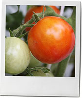 Cherry tomato on the vine for bloody mary tomato recipe