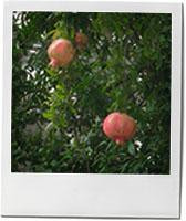 Pomegranate Tree photo for pomegranate cocktail recipe