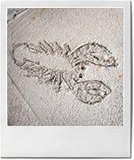 Lobster for lobster rolls recipe