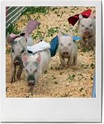 Racing mini pigs