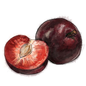 Plums Illustration