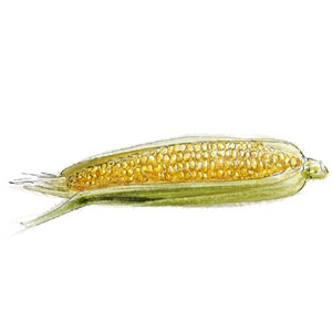 Raw Corn for corn salad